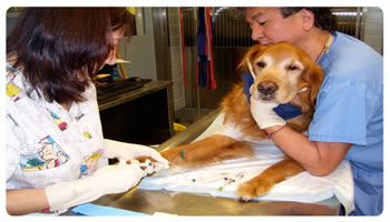 Your dog matters, being able to make it live longer matters more. Holistic medicine and vaccine therapy are two of the commonly-used alternatives for dog cancer treatment. Both are famous because they are risk-free and are affordable.
