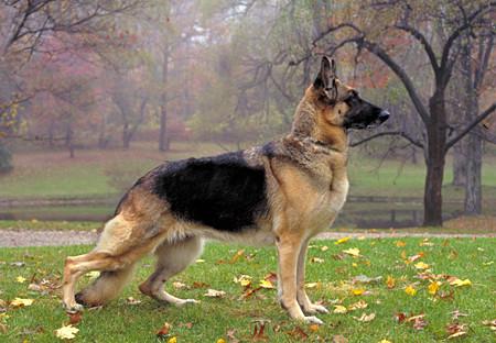 dog bone cancer