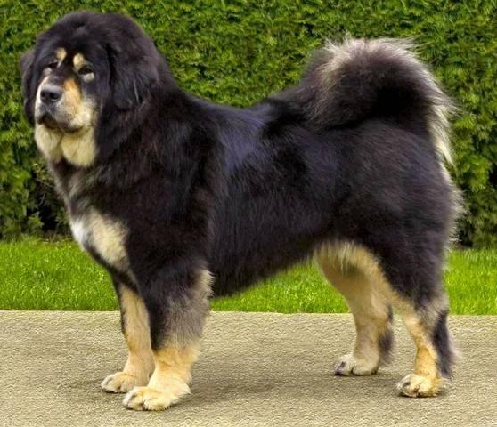 dog breed Tibetan Mastiff