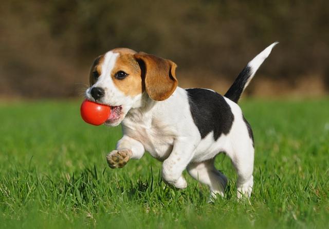 beagle playing