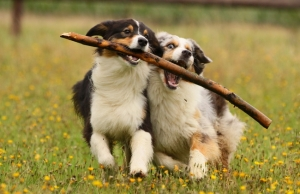 2 dogs playing with a stick