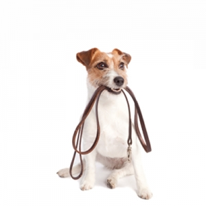 Cute Jack Russell Terrier asking to be walked