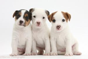Three Jack Russell Terrier puppies, 4 weeks old